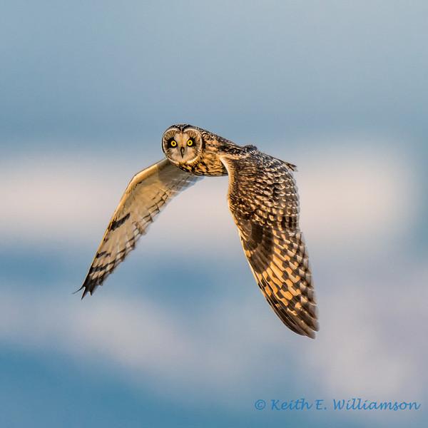 Short-eared Owl, Samish Flats, Washington
