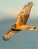 Northern Harrier, Leque Island