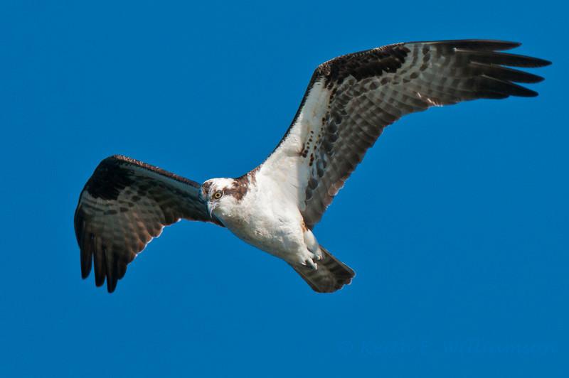 Osprey, Lake Washington