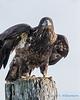 Bald Eagle - 9