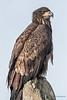 Bald Eagle - 5