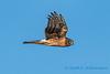 Northern Harrier - 10