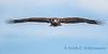 Bald Eagle - 6