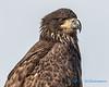 Bald Eagle - 4
