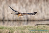 Northern Harrier - 3