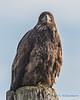 Bald Eagle - 7