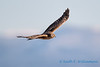 Northern Harrier - 4