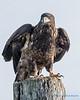 Bald Eagle - 8