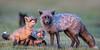 Fox and kits, at sunset