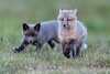 Kit foxes, playing after sunset