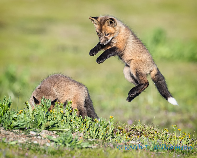 Ninja kit fox