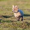 Kit fox, at sunset