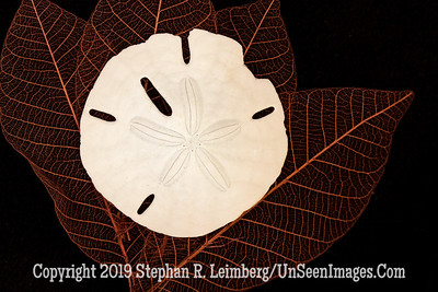 Sand Dollar on Leaves_U0U9680