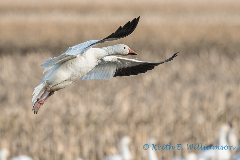 Snow Goose - 2