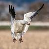 Snow Goose - 9