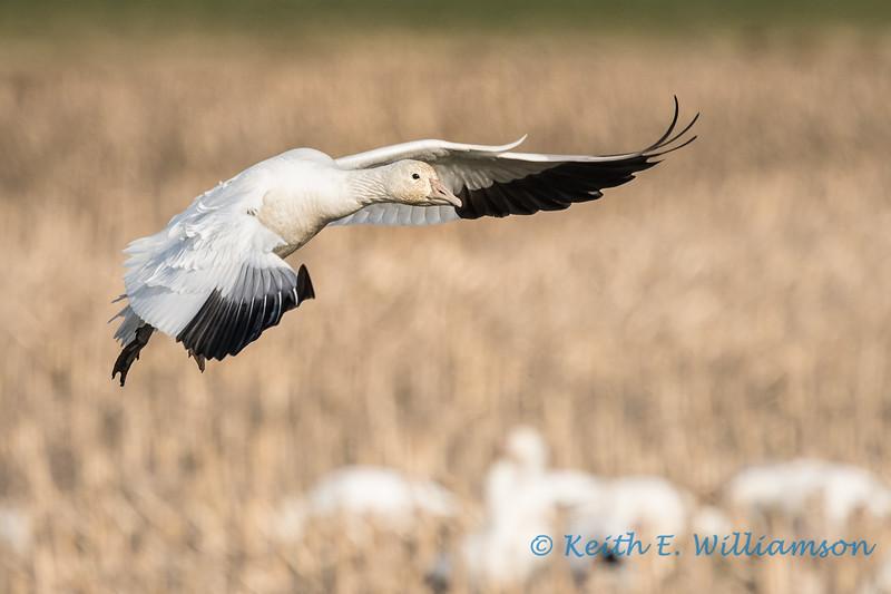 Snow Goose - 1
