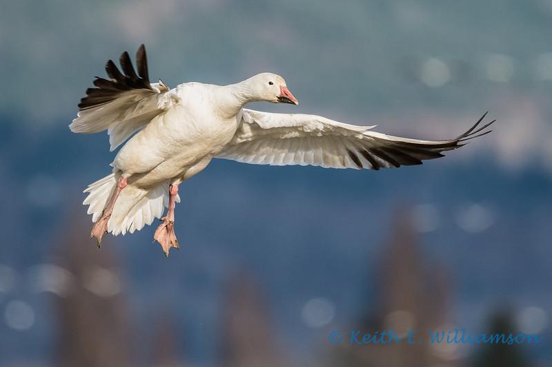 Snow Goose - 4