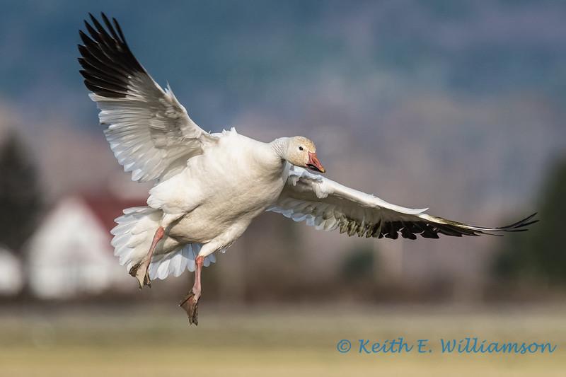 Snow Goose - 18