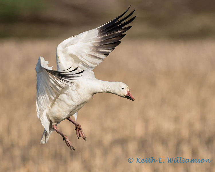 Snow Goose - 6