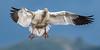 Snow Goose - 7