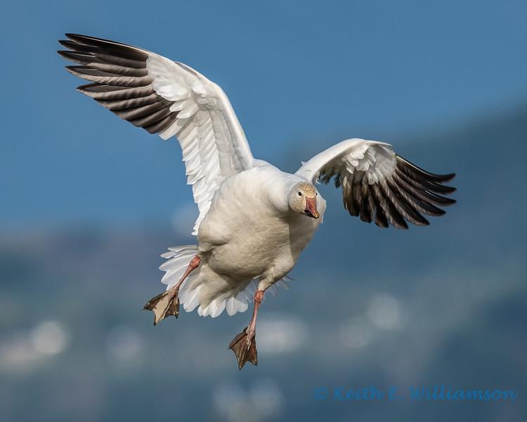 Snow Goose - 17