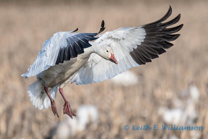 Snow Goose - 12