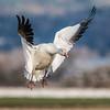 Snow Goose - 8