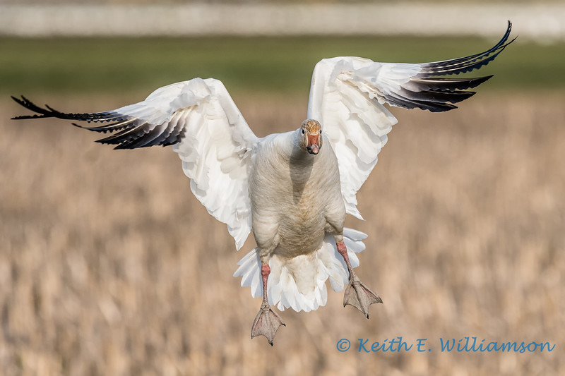 Snow Goose - 13