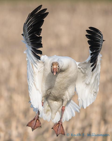 Snow Goose - 14