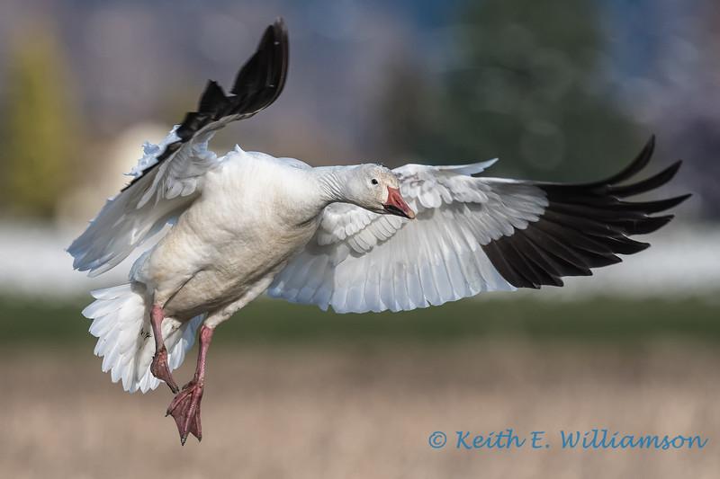 Snow Goose - 11