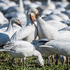 Snow Geese affection