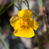 Seep Monkeyflower  - Limpy Botanical Trail
