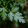 Fernleaf Biscuitroot  - Waters Creek Botanical Area