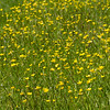 Field of Buttercups - Waters Creek Botanical Area