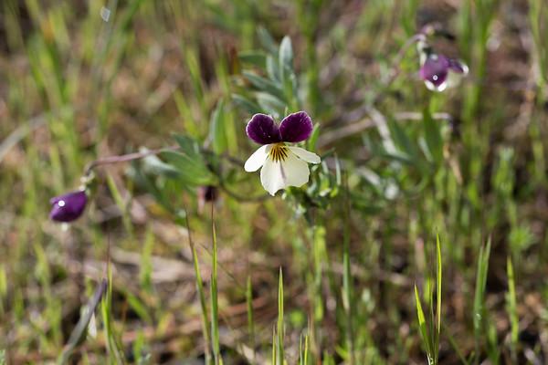 Southern Oregon Wild Flowers