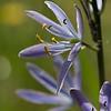 Blue Camus  - Limpy Botanical Trail