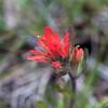 Shortlobe Paintbrush  - Limpy Botanical Trail