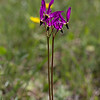 Henderson's Shooting Star - Limpy Botanical Trail