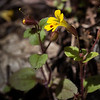 Chickweed Monkeyflower - Limpy Botanical Trail