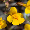 Seep Monkeyflower - Limpy Botanical Trail