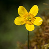 Buttercup  - Waters Creek Botanical Area