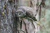 Great Gray Owl, coughing up a (large) pellet