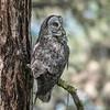 Great Gray Owl - 5