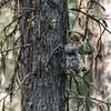 Great Gray Owl, about to launch