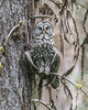 Great Gray Owl, cooling off