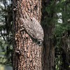 Great Gray Owl, swooping