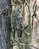 Great Gray Owl - 8