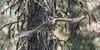 Great Gray Owl, in flight - 1