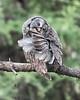 Great Gray Owl, preening