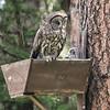 Great Gray Owl nest box